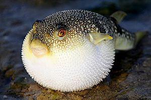 puffer_fish_V1