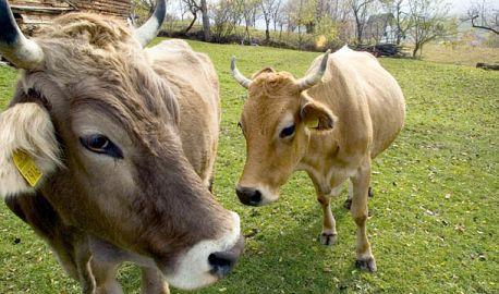 Vaca defavorizata la control