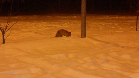 După urs, şi vulpile se plimbă prin oraș
